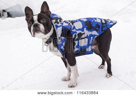 Boston Terrier Wearing Blue Coat in Snow