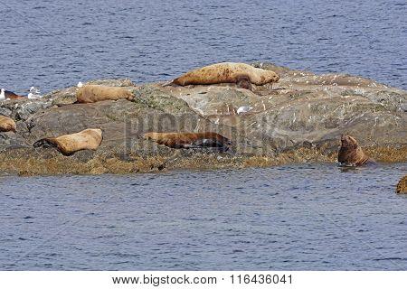 Steller Sea Lions On A Ocean Rock