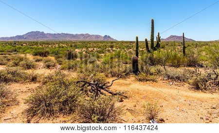 Arizona desert with Saguaro Cactus