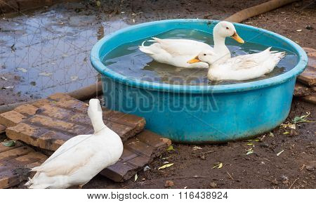 Young Geese Swimming In A Basin