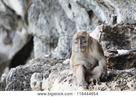 Long-tailed monkey animal portrait on the rock of Thailand island