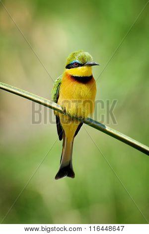 Bee-eater On Flower