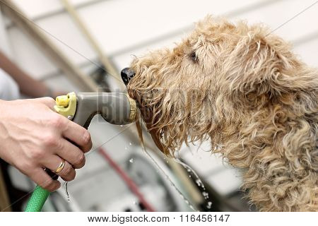 Airedale Terrier Dog Drinking Water During Summer Heat