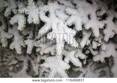 Fir Branches With Snow