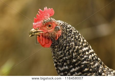 Close Up Of Mottled Hen