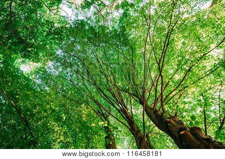 Spring Summer Green Canopy Of Tall Trees. Deciduous Forest, Summ