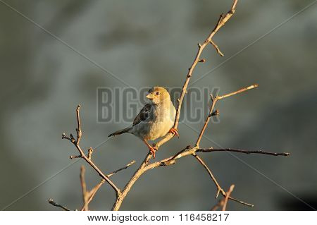 Female Passer Domesticus On Twig
