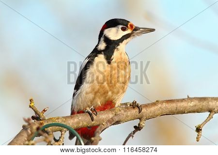 Great Spotted Woodpecker On Branch