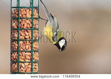 Great Tit On Peanut Garden Feeder