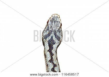 Isolated Head Of Vipera Berus