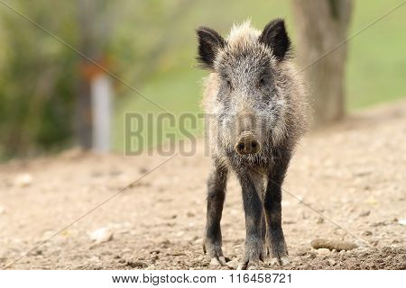 Juvenile Wild Boar