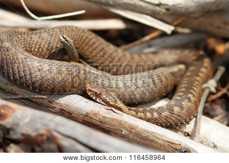Orange Female Common Adder