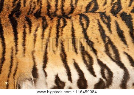 Real Tiger Stripes On Animal Skin