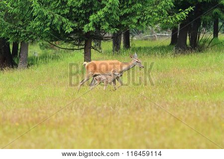Red Deer Doe With Calf