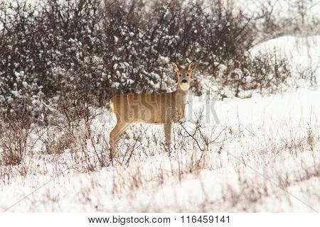 Roe Deer Doe Looking At The Camera