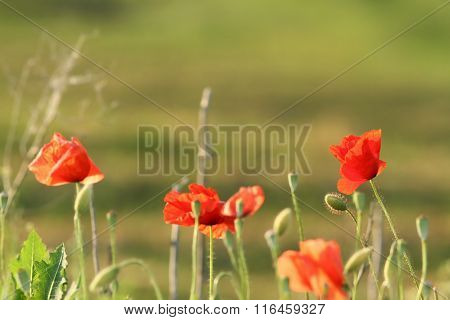 Wild Colorful Poppies