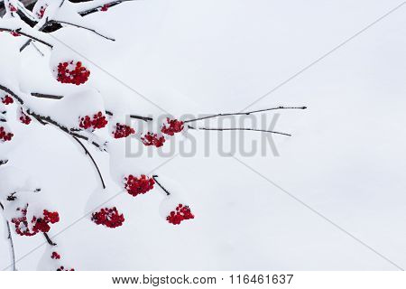 Seasonal winter nature background with red rowan berry under the snow
