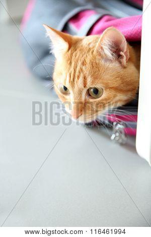 Red cat in sport bag, close up