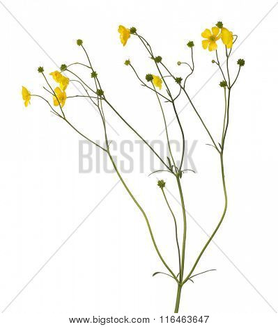 wild golden buttercup flower isolated on white background