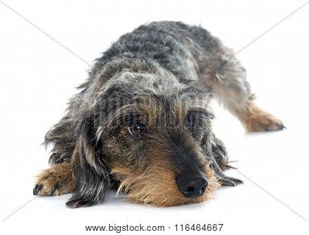 Wire Haired Dachshunds