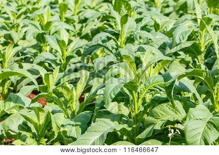 Tobacco Plant In Northern On Thailand