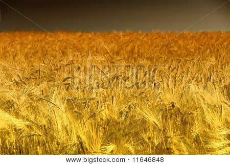 Golden Cornfield in Pfalz, Germany