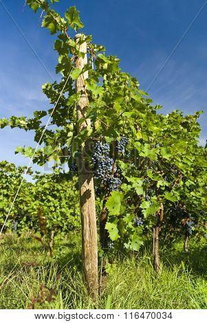 Several bunches of ripe grapes on the vine (selective focus)