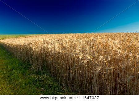 Cornfield with deep blue sky in Pfalz, Germany