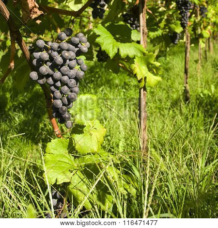 View of vineyard row with bunches of ripe red wine grapes