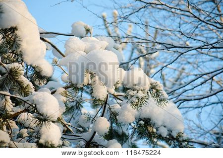 Pine Branches Covered With Snow On A Sunny Day