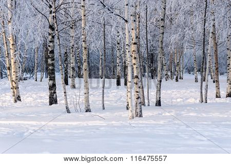 Birchwood In The Winter With White Snow And Hoarfrost