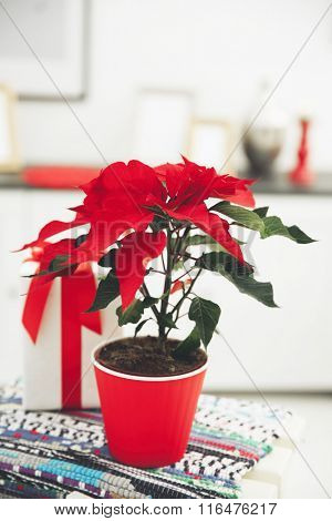 Christmas flower poinsettia and decorations on decorative ladder with Christmas decorations, on light background
