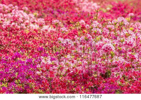 Brilliant azalea flower field