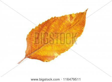 Dry leaf pincers on white background