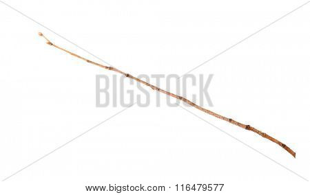 Dry branch with pincers on white background