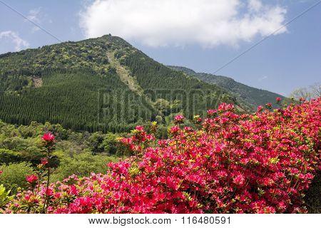 Red azalea and hill