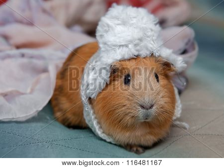 Red Guinea Pig Wearing A Winter Hat.