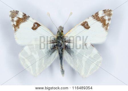 Green-striped White, Euchloe Belemia, Butterfly