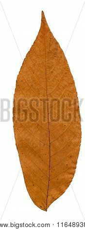 Pressed And Dried Leaf Manchurian Walnut.