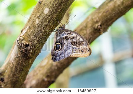Butterfly With Eyespot On Brown Limb