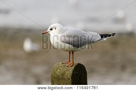 Seagull standing on a post