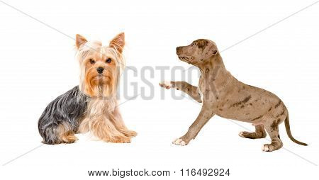 Yorkshire terrier and playful puppy Pitbull