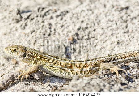 Beautiful grey lizard posing