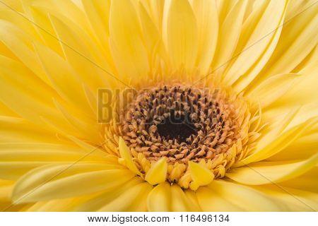 Yellow Gerbera flower macro.