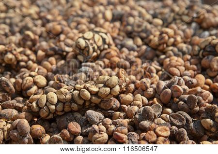 Asian Palm Civet Luwak Feces With Coffee Beans