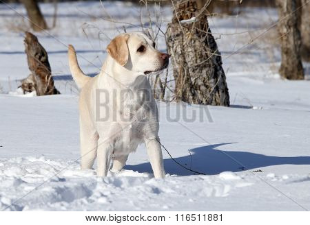 Yellow Labrador In Winter In Snow