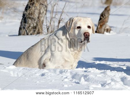 A Nice Yellow Labrador In Winter In Snow