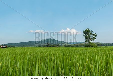 Green Rice Fields Of Thailand.