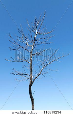 Leafless Tree On Blue Sky In Autumn