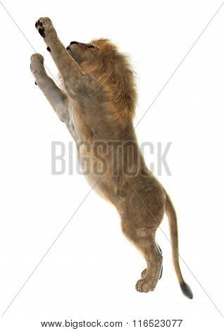 Male Lion On White